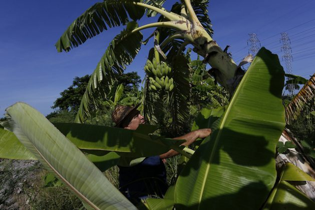 Orlando Corrales grows forage plants interspersed within banana plantations, using the leaves and stems for feeding his cattle on the Jibacoa farm, which is surrounded by live fences, in the south of the Cuban capital. Credit: Jorge Luis Baños/ IPS