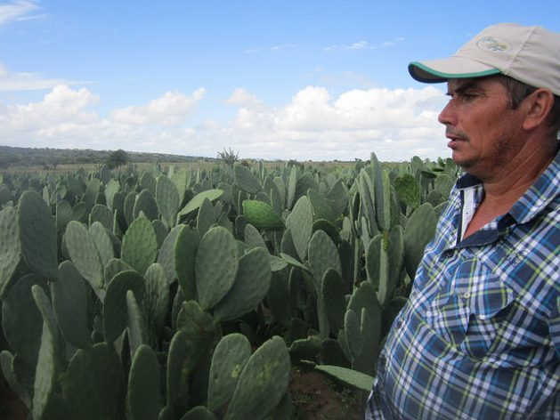 José Antonio Borges is surrounded by the forage cactus, ready to be harvested, that he planted on his farm. It is the basis of the diet of their 30 cows, which allows them to produce 400 litres of milk per day, using an automatic milking system twice a day, in Ipirá, in the Jacuípe basin, in Brazil's northeastern semi-arid ecoregion, where the optimal use of water is transforming family farms. Credit: Mario Osava / IPS
