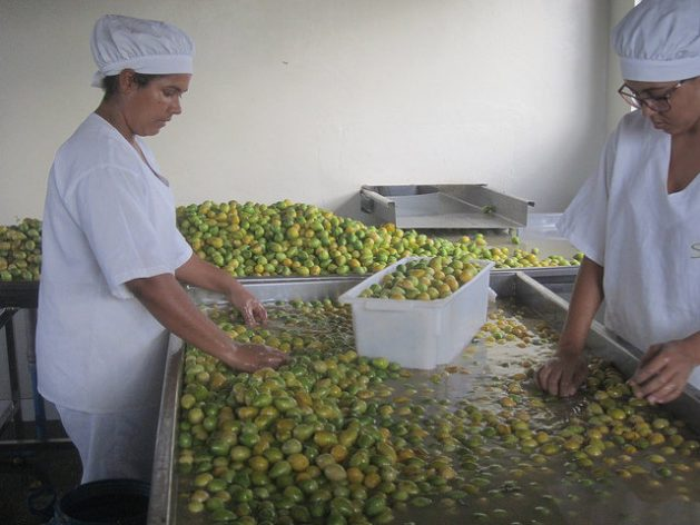Two workers manually select umbús-cajás, in the factory of the Ser do Sertão Cooperative, in Pintadas, in the northeastern Brazilian state of Bahia, while the fruit is washed. It is the slowest part of the production of fruit pulp from fruits native to the semi-arid ecoregion, in a project with only female workers. Credit: Mario Osava/IPS