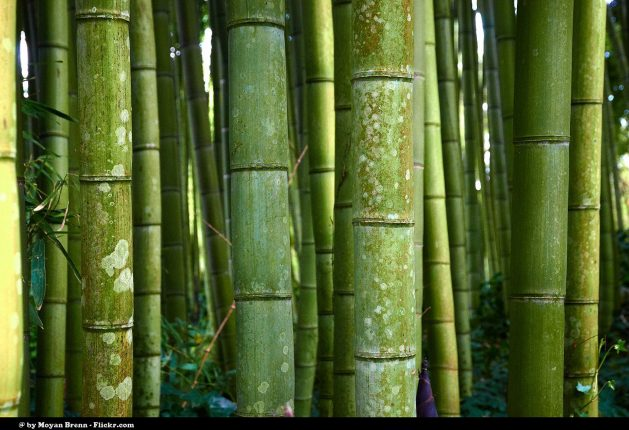 Bamboo is stronger than concrete or steel but is a renewable resource, providing refuge and food for wildlife as well as biomass. Credit: CC by 2.0