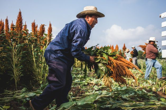 A farmer harvests amaranth in the southern Mexican state of Oaxaca. This grain, of which two of the varieties originated in Mexico, is part of the country's traditional diet and can help boost nutrition among Mexicans, who have been affected by skyrocketing consumption of junk food. Credit: Courtesy of Bridge to Community Health