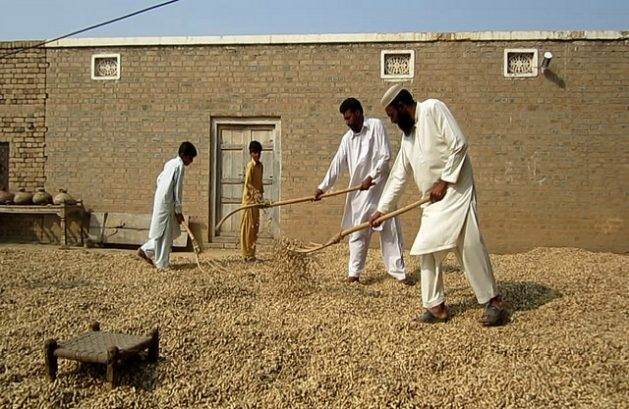 Farmers spread their produce under the sun in the courtyard of their home in Ghool village of the Chakwal district, Pakistan. Credit: Saleem Shaikh/IPS