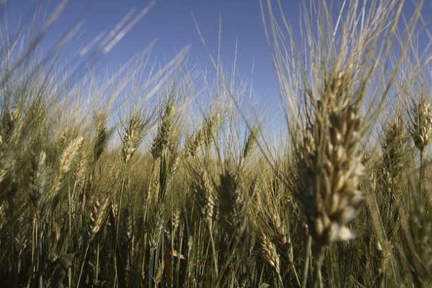 The staple food of Pakistan is wheat with an annual per capita consumption of 124 kgs/head/year. The world price of wheat currently hovers around US$ 234 per tonne (as of 01 November 2018). In Pakistan, the Government, during the last wheat harvest in May/June 2018, paid farmers Rupees 1,300 per 40 kilograms.