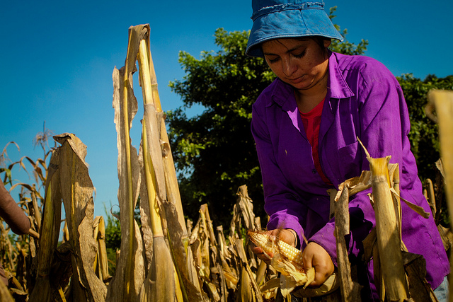 Domitila Reyes pulls corn cobs from a plantation in Ciudad Romero, a rural settlement in the municipality of Jiquilisco, in eastern El Salvador. The production of basic grains such as corn and beans has been affected by climate change in large areas of the country. Credit: Edgardo Ayala/IPS