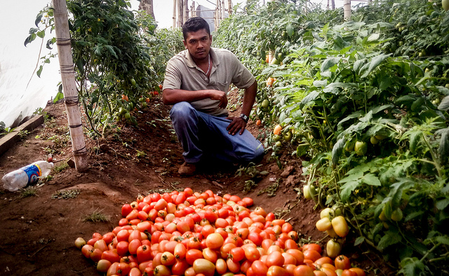 Dennis Alejo, a Salvadoran deported while trying to cross into the United States, has found in tomato production the best way to make a living and generate a handful of jobs in his native Berlin, in the eastern Salvadoran department of Usulután. Credit: Edgardo Ayala/IPS