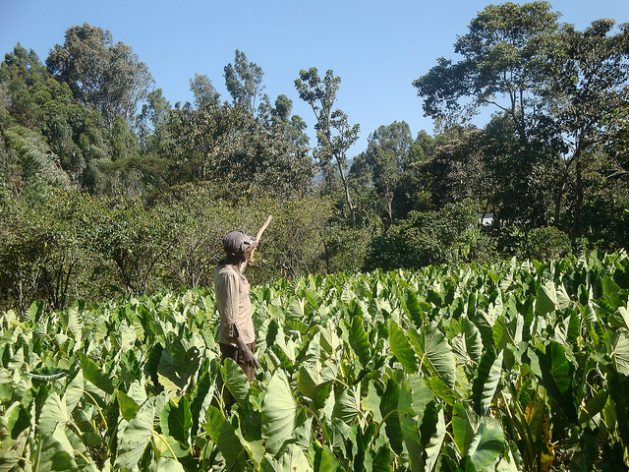 A farmer in Woliyta area of Ethiopia experiences higher yields of taro since adopting disease-resistant and drought tolerant seed varieties. Credit: Ed McKenna/IPS