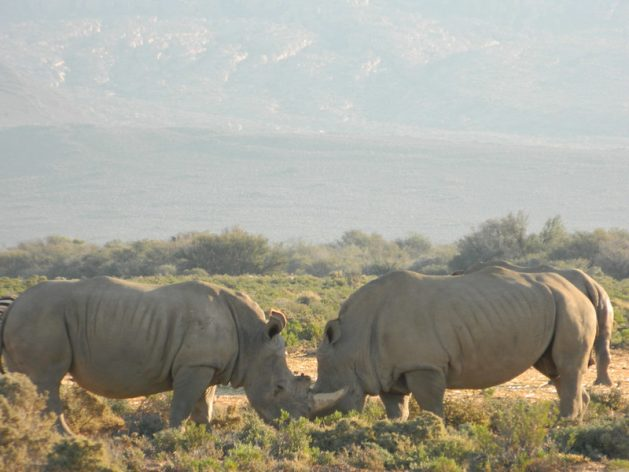 South Africa's white rhinoceros recovered from near-extinction thanks to intense conservation efforts. Experts around the world have called for international and local cooperation for biological preservation to prevent future pandemic. Credit: Kanya D'Almeida/IPS