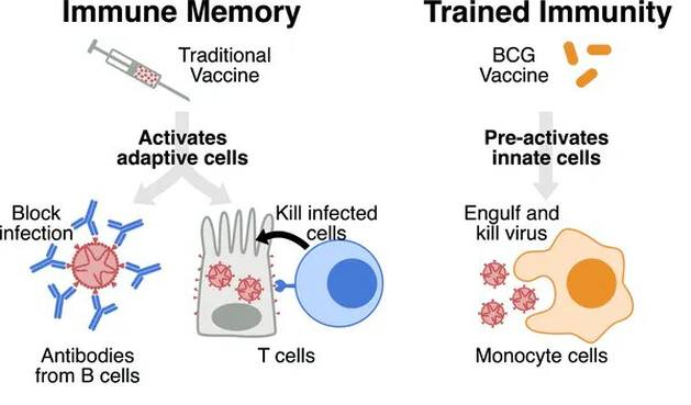 what is the BCG vaccine and what might its place be in the fight against coronavirus?