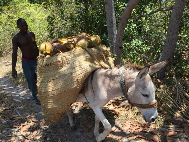 Coconut farmers in Mafia Island, Tanzania, rely solely on donkeys as the mode of transporting their products from farms to markets. Credit: Alexander Makotta/IPS