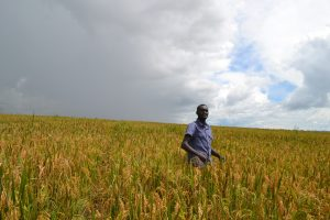 Dominic Kimara, the farm manager at an agri-food company, stands in a rice field grown using conservation agriculture technique. Credit: Isaiah Esipisu/IPS