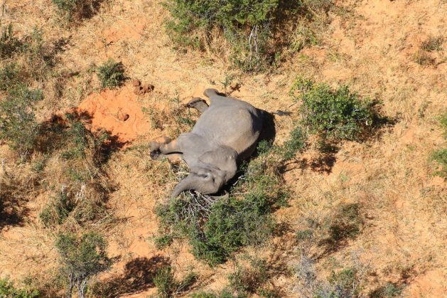 The world was shocked by the unexplained deaths of hundreds of elephants across Botswana. While Botswanan officials have said they have identified what killed the animals as cyanobacteria, some wildlife experts and conservationists have questioned the government's claim, saying many questions remain. Courtesy: Elephants Without Borders (EWB)