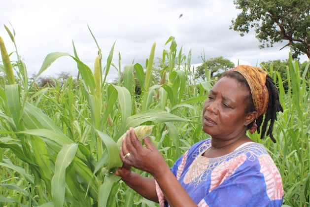 Zimbabwean farmer Sinikiwe Sibanda is one of an increasing number of farmers from semi-arid areas with little rain who are shifting from growing white maize to hardy sorghum and millet for food and nutrition security. Credit: Busani Bafana/IPS