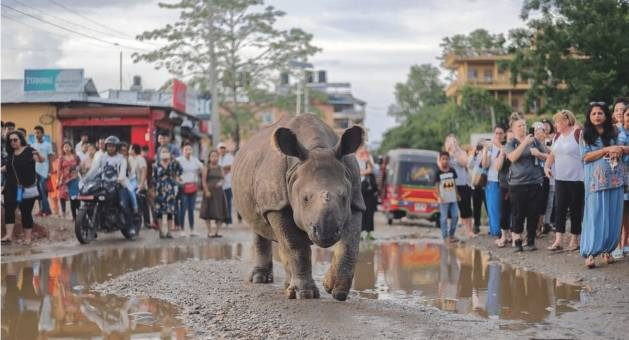 Nepal's population of one-horned rhinoceros that survived hunting, a shrinking habitat and wildlife trafficking are now faced with a new threat: changes in their living environment due to a rapidly-warming atmosphere