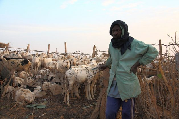 A herder is about to take his sheep to graze early in the morning in Mauritania, the West Sahel. Peacebuilding and stability in the region is dependent on solving the challenge of food and security, says the African Development Bank. Credit: Kristin Palitza/IPS