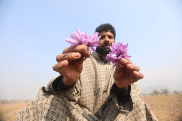 A saffron farmer in Kashmir poses with saffron crocus flowers. The most expensive spice in the world is derived from the sigma of the purple flower. Credit: Umer Asif/IPS