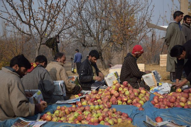 Apple farmers in Kashmir package their crops to send to a mandi or market yard. According to policy, wholesale transactions between farmers and traders must take place in a mandi, yet the market yards have become hubs of widespread corruption where a small group of sale agents have taken control. Credit: Stella Paul/IPS