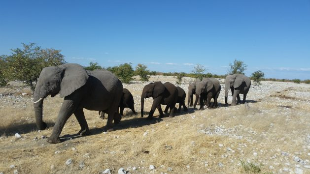 Namibian elephants in Etosha. Conservationists estimate that between 73 to 84 percent of the government's quoted elephant population figure consists of 'trans-boundary' elephants, those moving between Namibia, Angola Zambia and Botswana. They put the resident elephant population in Namibia at 5,688. They are worried that with 170 heading to the auction block, Namibia is losing 3 percent of its elephant population. Courtesy: Stephan Scholvin