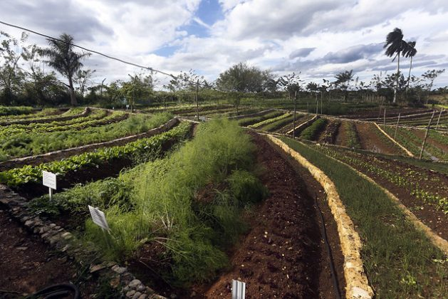 Terraces specially designed to prevent surface runoff during the rains have been key for growing vegetables on the sloping terrain of Finca Marta in the municipality of Caimito, Artemisa province, about 20 km from Havana, Cuba. CREDIT: Jorge Luis Baños/IPS