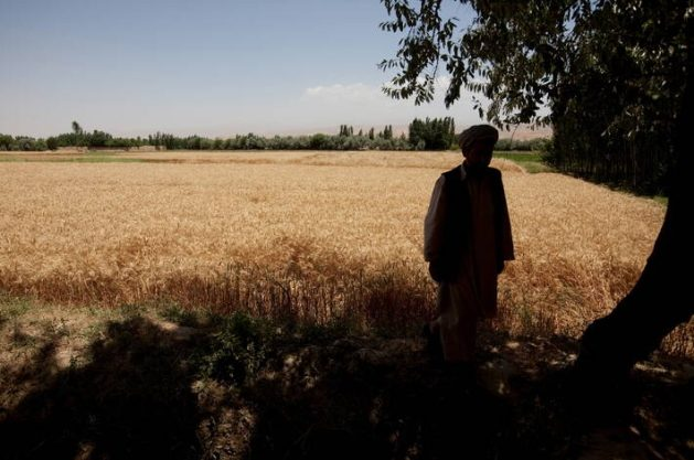 FAO is working to urgently raise $ 36 million to accelerate support for Afghan farmers. The support aims to ensure that they do not lose their crops, wheat and other winter grains, which could otherwise result in a food emergency that would deepen the crisis in the Asian country. Credit: FAO