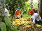 Harvesting cacao in Remolino. Credit: Courtesy of Rodrigo Velaidez/Chocaguán
