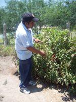 Farm worker points to amaranth seedheads. Credit: Emilio Godoy/IPS