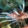 Lionfish specimen in Jamaican waters.  Credit: Dayne Budoo/IPS