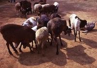Red Maasai sheep in Kenya. Credit:  John Atherton/Wikicommons