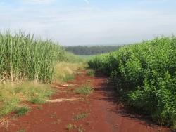 Sugar cane plantations at Ribeirao Preto, Sao Paulo, Brazil.  Credit: Mario Osava/IPS