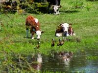 Cattle and birds on Uruguayan prairie.  Credit: GEO report