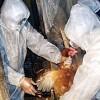 Culling operations gainst bird flu outside Dhaka. Credit: Farid Ahmed/IPS