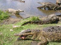 Crocodiles in Cuba&#39s Ciénaga de Zapata.  Credit: J. Haedo