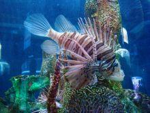 Lionfish  Credit: Juan Posada