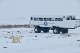 """CHURCHILL, Canada , Nov 26 2018 (IPS) - It's almost always cold in Churchill, Manitoba, a remote coastal community on Hudson Bay in Canada's subarctic region. Today, a month before winter officially begins, it's -25 degrees C with a fierce wind coming off Hudson Bay which is thick with slabs of ice. Situated in the middle of Canada, it's the world's largest saltwater bay. And even though frozen solid eight months of the year, the bay sustains the nearly 800 residents of Churchill which is known as the """"Polar Bear Capital"""" of the world. Tourism and ecotourism are the major contributors to the local economy, with the polar bear season being the largest. The cold waters of Hudson Bay bring polar bears into the area in October and November, while the mouth of Churchill River brings thousands of five-metre-long, pure white Belgua whales in June and July. Summer also brings birdwatchers to the treeless tundra region. In winter people from all over the world brave the bitter cold to view the spectacular aurora borealis, also known as the northern lights. Related IPS Articles How Australia Sustainably Manages the World's Last Wild Commercial Fishery of Pearl Oysters Women Must be at the Heart of Africa's Blue Economy Barbados Looks Beyond its Traditional Sugar and Banana Industries into the Deep Blue Living with polar bears isn't easy. They're fierce predators, double the size of the largest lions or tigers, and always hungry when on land where they find little food. Seals are their main food source but the bears can only catch them when the bay is frozen. Fifty years ago any bear near Churchill would be shot on sight. Their numbers fell dramatically and conservation measures were put in place. Although there are no roads to Churchill, it is less than three hours by plane from Winnipeg, Manitoba's international airport, making it relatively easy to see polar bears in the wild. In the late 1970s a tourism operator built Tundra Buggies, school-bus-sized, four-wheel-drive vehi"""