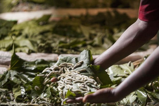 Seidenraupen sind in Äthiopien zunehmend nachgefragt: Ein Kilo erzielt auf lokalen Märkten einen Preis zwischen drei und fünf US-Dollar. (Bild: Brendan Bannon, The MasterCard Foundation/IPS)