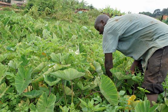 Kleinbauern in Kenia setzen auf klimasmarte Landwirtschaft, um den Auswirkungen des Klimawandels zu begegnen (Bild: Miriam Gathigah/IPS).