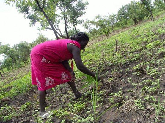 Eine Bäuerin bestellt ihr Sesamfeld im südsudaneischen Bundesstaat Eastern Equatoria (Bild: Charlton Doki/IPS).