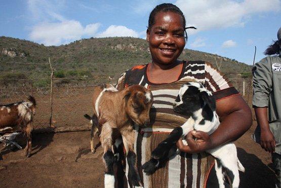 Ziegen kommen mit der zunehmenden Trockenheit in Südafrika besser zurecht als Rinder (Bild: Busani Bafana/IPS)