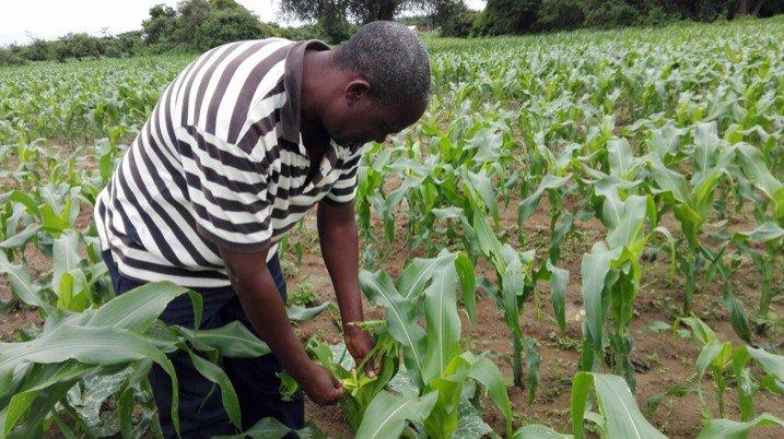 Der Landwirt Surrender Hamufuba sucht die Maispflanzen seiner Farm nach Heerwürmern ab. (Bild: Friday Phiri/IPS)