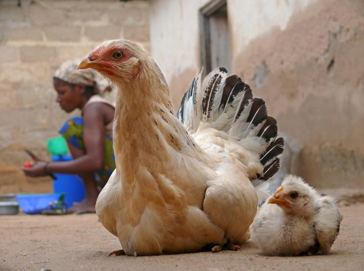 Der Import von Hühnerfleisch aus Europa und den USA bedroht die Existenz zahlreicher Bauern in Afrika. (Bild: Svetlana Arapova/Shutterstock.com)