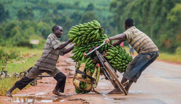 Bananen sichern die Ernährung und die Lebensunterhalt von Millionen Menschen in der Region Große Afrikanische Seen. Der Bananen-Killer BXW hat enorme Ernteeinbußen gefordert. (Bild: Gudkov Andrey, Shutterstock.com)