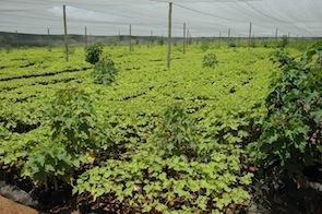 Seventy percent of Namibians depend on agriculture.  - Servaas van den Bosch/IPS
