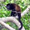 Howler Monkey in the Capiro Calentura jungle. - Sonia Edith Parra/IPS